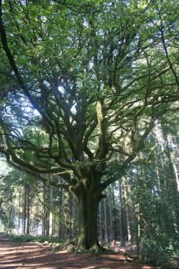 Hêtre en forêt de Brocéliande