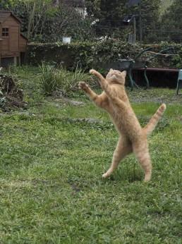 Chat sautant