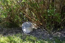 Un chat gris dans les plantations