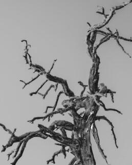 Paréidolie arbre mort